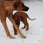 3 Puppies + Ayo Baako 002 150x150 A  Wurf : Ma isha Ayo