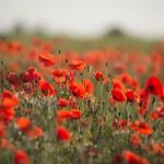 Poppyfields 2 150x150 Poppy fields forever